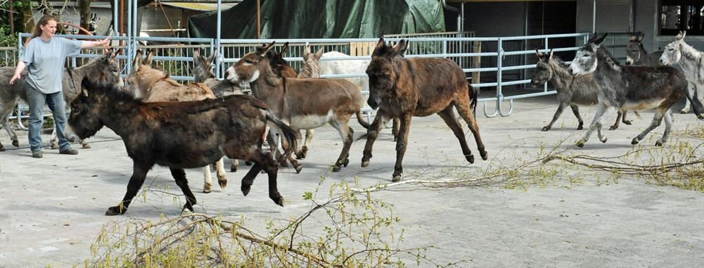 Eselherde im Galopp Stiftung Eselhilfe Eselheim Aline