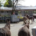 Neubau Eselhof Aline 120 Stiftung Eselhilfe Esel zügeln