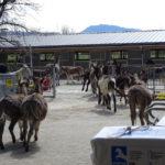 Neubau Eselhof Aline 121 Stiftung Eselhilfe Esel zügeln
