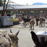 Neubau Eselhof Aline 122 Stiftung Eselhilfe Esel zügeln