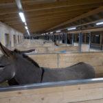 Esel in den neuen Stallungen auf dem Eselhof Aline