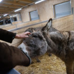 Esel wird gestreichelt im Stall Eselhof Aline-2