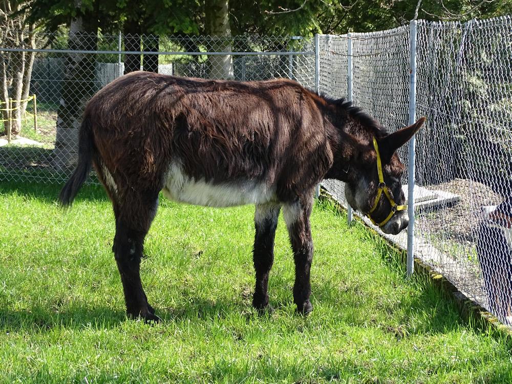 Esel Edi auf dem Eselhof Aline