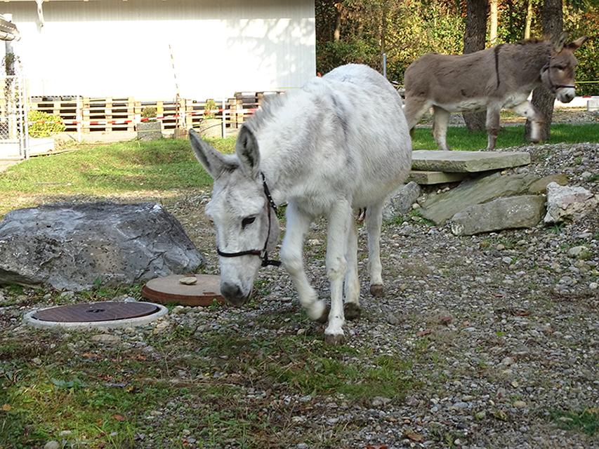 Esel Fridolin und Zorafreuen sich über ihr neues Zuhause im Zürich Zoo Dez2019