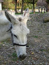 Esel Zora