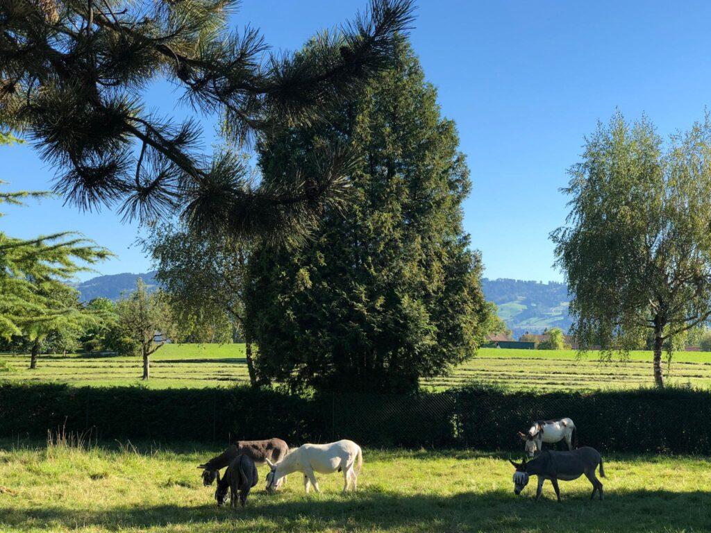 Lebenshoftag 2020 Esel auf der Weide