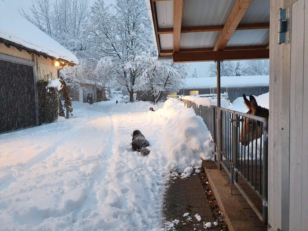 Der grosse Schnee im Januar 2021 den Hunden gefällts
