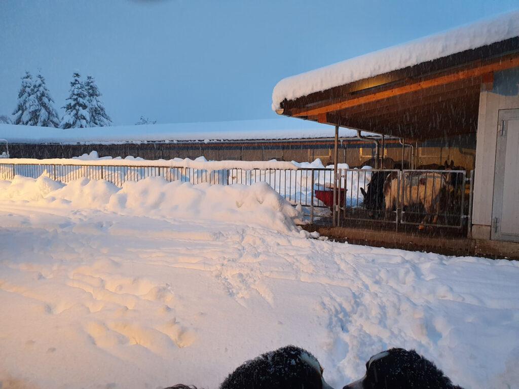 Der grosse Schnee- den Hunden gefällts die Esel bleiben am Schärme